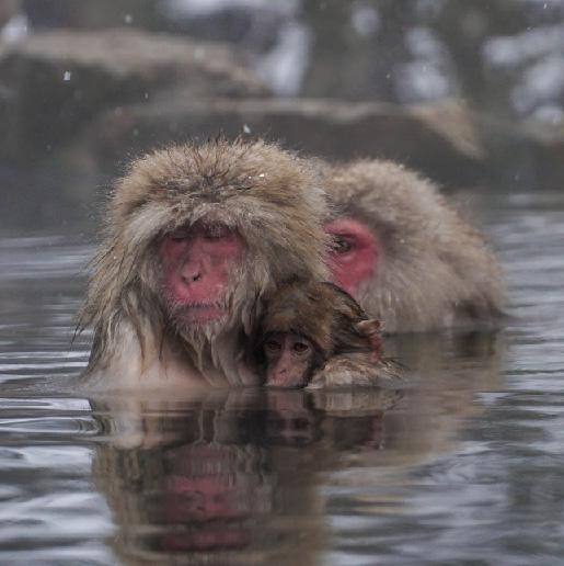 Snow Monkey Tour
